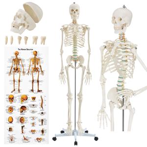 Eshopist Anatomický model kostry so stojanom a plagátom